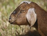 Name: goat07.jpg Views: 68 Size: 1.46 MB Description: