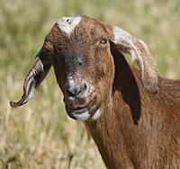 Name: goat06.jpg Views: 64 Size: 1.04 MB Description: