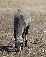 Name: sheep04.jpg Views: 65 Size: 784.6 KB Description: