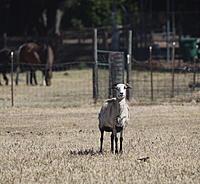 Name: sheep02.jpg Views: 66 Size: 939.8 KB Description:
