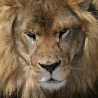 Name: mane06.jpg Views: 202 Size: 178.6 KB Description: Lion meets $400 flash.