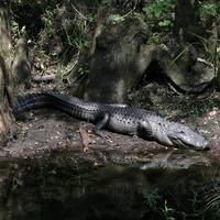 Name: gator01.jpg Views: 156 Size: 193.9 KB Description: