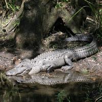 Name: gator02.jpg Views: 124 Size: 192.0 KB Description: