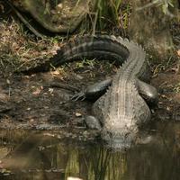 Name: gator07.jpg Views: 122 Size: 179.1 KB Description: