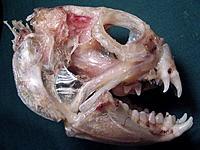 Name: Wolf Fish skull.jpg Views: 20 Size: 191.5 KB Description: