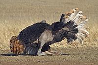 Name: ostrich .jpg Views: 56 Size: 229.1 KB Description:
