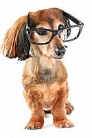 Name: stock-photo-long-haired-miniature-dachshund-wearing-yellow-glasses-with-reflection-on-white-back.jpg Views: 80 Size: 122.6 KB Description: Just the facts please.