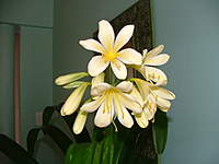 Name: DSCF1112.jpg Views: 329 Size: 65.8 KB Description: Bakkie asked me to post a pic of my prized Clivia for my wife cause she has been so tollerent of him!! Pretty, is'nt she!!??.....the Clivia!!