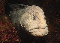 Name: Wolf-eel.jpg Views: 67 Size: 32.8 KB Description:
