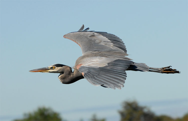 Name: great-blue-heron-flying.jpg