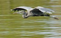 Name: heron-flying.jpg Views: 288 Size: 66.8 KB Description: A higher-arched gull-wing.