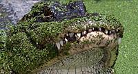 Name: gator.jpg Views: 13 Size: 246.1 KB Description: