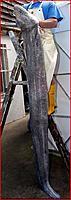 Name: conger eel.JPG Views: 141 Size: 78.7 KB Description: