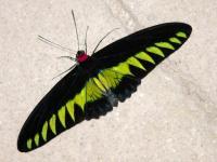 Name: 00 34744215_P1040408.jpg Views: 509 Size: 63.1 KB Description: Original desing - Rajah Brooke's Birdwing Butterfly