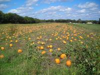 Name: pumpkinfield-small.jpg