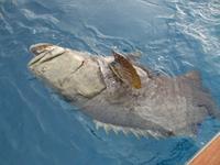 Name: Nicks Grouper.jpg Views: 248 Size: 50.8 KB Description: 350 Lbs of lurking grouper