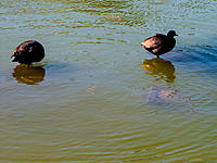 Name: 2013-06-12_0007.jpg Views: 217 Size: 295.4 KB Description: A couple of coots use the drain system as roosts.