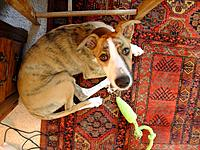 Name: DSCF8085.jpg Views: 99 Size: 1.21 MB Description: My assistant. 5 month old lurcher, 18kg already and should get to 28ish and 60-odd-cm to the shoulder and make 65+ kph. He's deer and greyhound, collie, whippet, Bedlington and English bull terrier, the last to give him sturdy joints, and massive teeth!