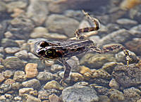 Name: Poison frog.jpg