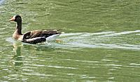 Name: Greater White-fronted goose.JPG