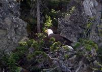 Name: bald_eagle_.jpg
