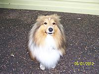 Name: 100_5573.jpg Views: 53 Size: 255.7 KB Description: Shetland Sheepdog wonders what all the fuss is about as he's only interested in glassed Strykers, big gassers and pussies of course......