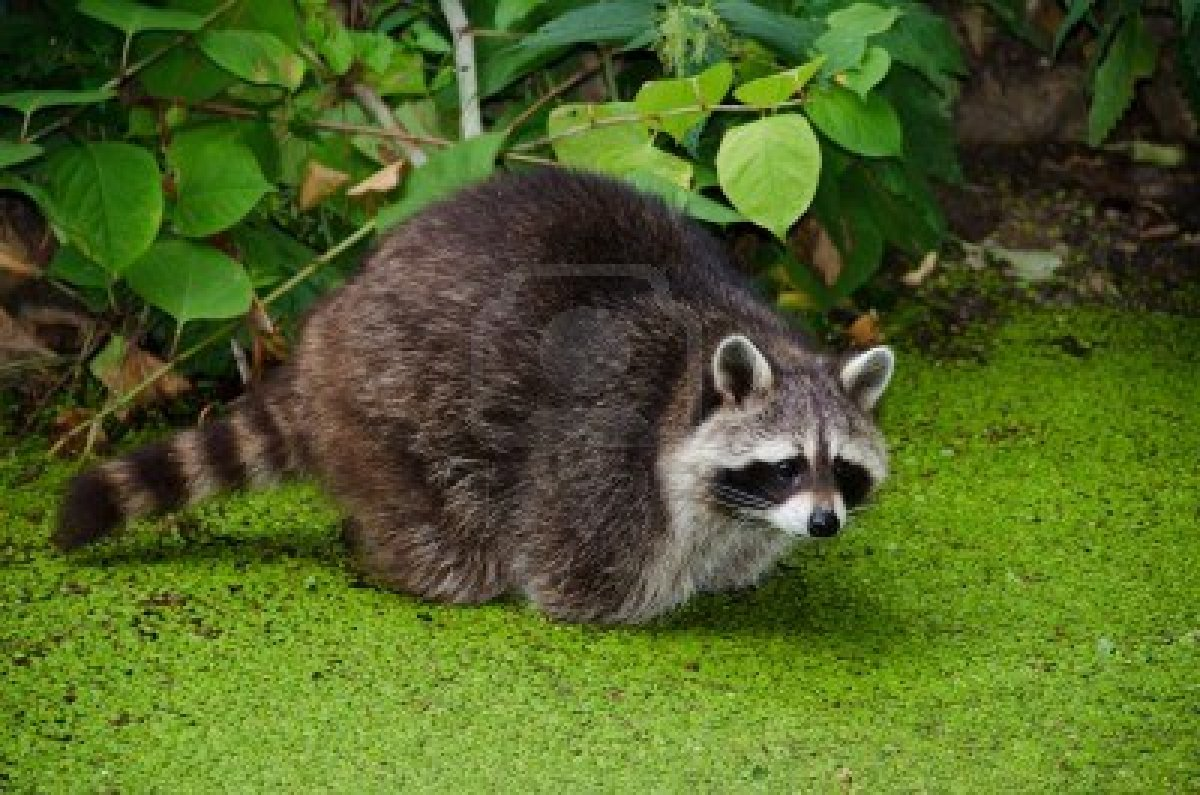 Name: coon.jpg