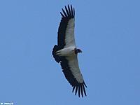 Name: king vulture.jpg Views: 145 Size: 34.2 KB Description: