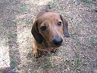 Name: ERNIE.jpg Views: 81 Size: 326.0 KB Description: Ernies the biggest wiener dog.