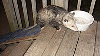 Name: Bella on the possum ramp.jpg