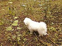 Name: 0728130938a.jpg Views: 66 Size: 253.7 KB Description: Cotton just after we arrived at the campsite, taking in all the new smells.