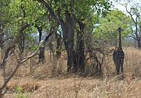 Name: 正在坦桑尼亚航飞-长颈鹿800.jpg Views: 25 Size: 64.9 KB Description:
