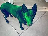 Name: greendog-300x225.jpg Views: 165 Size: 18.4 KB Description: I have a dogie for you....