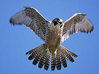 Name: Falcon-02[1].jpg Views: 42 Size: 48.5 KB Description: