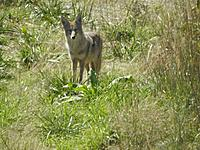 Name: coyote m.jpg