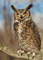 Name: horned owl.jpg Views: 462 Size: 53.7 KB Description:
