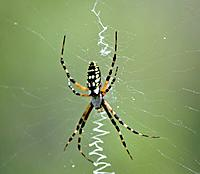 Name: Banana Spider.jpg
