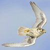 Name: 32920_sm.jpg Views: 2261 Size: 27.0 KB Description: Swept back for aerobatics; FYI all photos are of Falcons, all Peregrines but this lone Prairie Falcon.