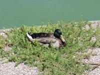 Name: Picture 019.jpg Views: 102 Size: 160.2 KB Description: Quack