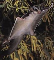 Name: sugarglider1.jpg Views: 90 Size: 13.3 KB Description: Look MA!!!! I can fly WEEEEEEEEEEEEEEEEEEE