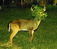 Name: Mikey w Leaves on Antlers169.jpg