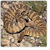 Name: tiger-rattlesnake.jpg Views: 199 Size: 49.2 KB Description: