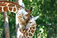 Name: Giraffes.jpg