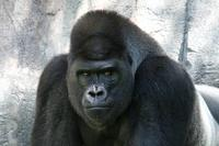 Name: Gorilla-4.jpg