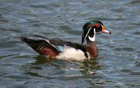 Name: Wood Duck-3.jpg