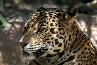 Name: Leopard-1.jpg