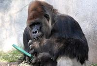 Name: Gorilla-5.jpg