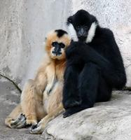 Name: Gibbons-1.jpg