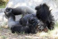 Name: Gorilla-6.jpg