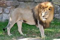 Name: Lion-1.jpg